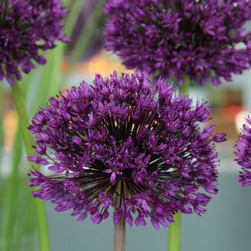 Allium 'Purple Sensation' BIO