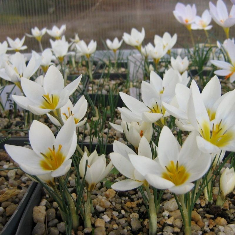 Crocus melantherus