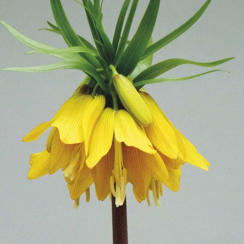 Fritillaria imperialis 'Early Magic'