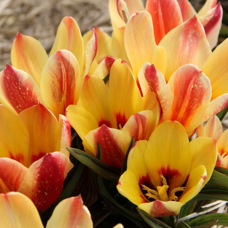 Tulipa 'Girlfriend'