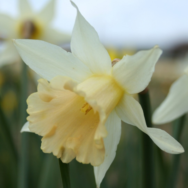 Narcissus 'Apricot'