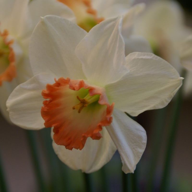 Narcissus 'Pink Charme'