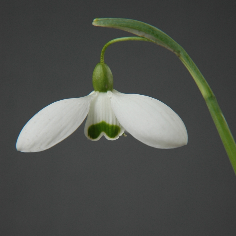 Galanthus 'Falkland House' (Imperial Group)