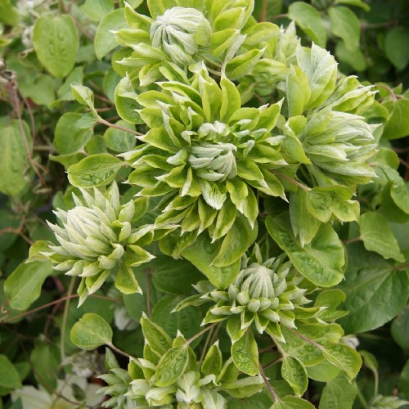 Clematis 'Green Passion'