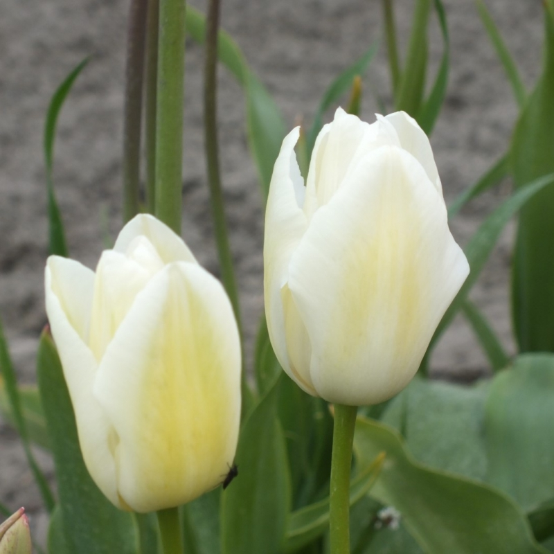 Tulipa 'White City'
