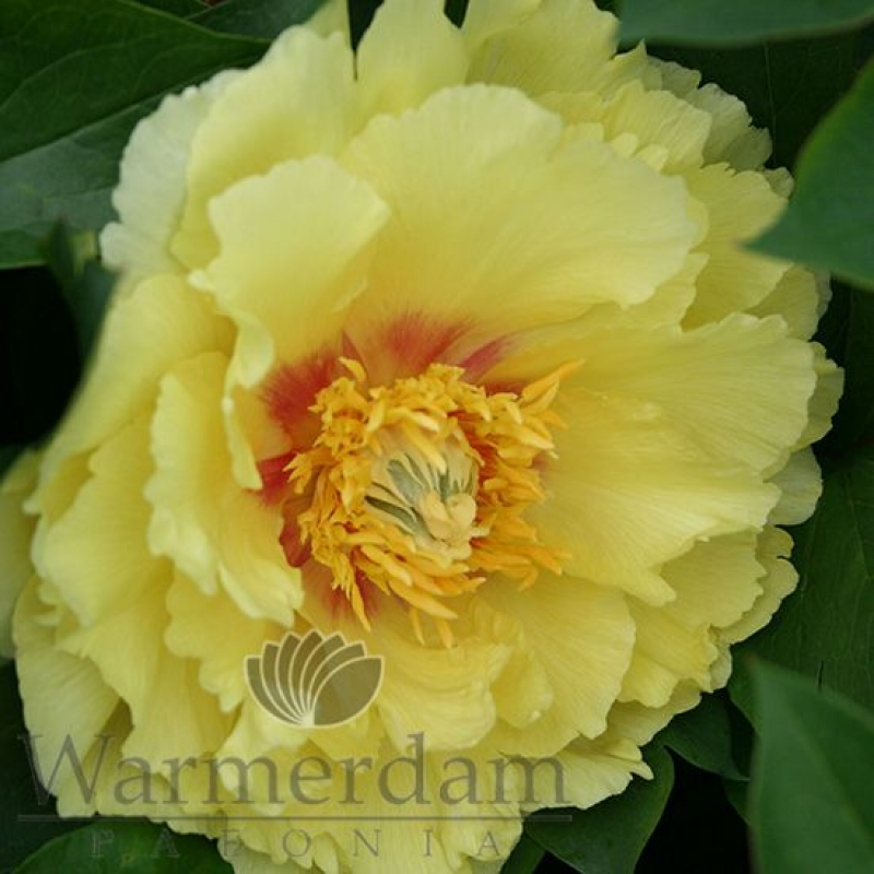 Paeonia 'Shining Light'