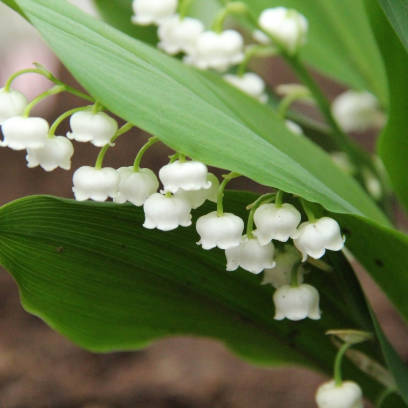 Convallaria majalis 'Bridal Choice'