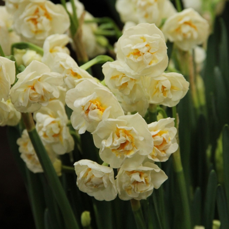 Narcissus 'Bridal Crown' BIO