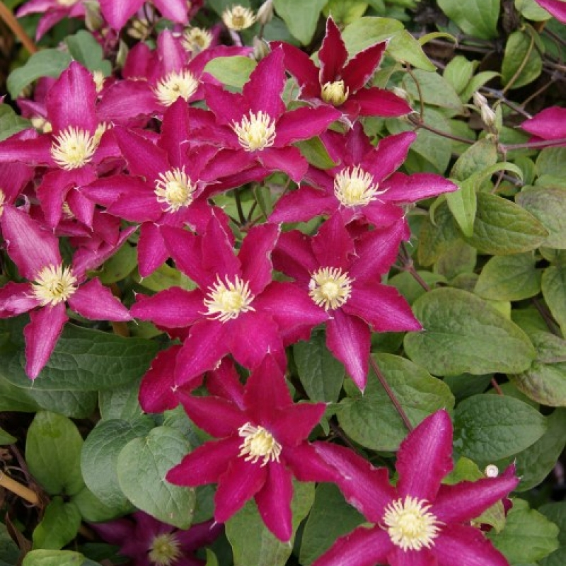 Clematis 'So Many Red Flowers'