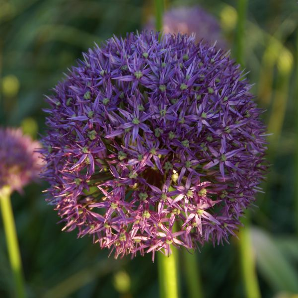 Allium 'Round 'n Purple'
