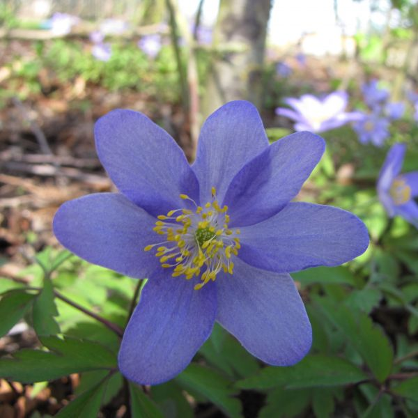 Anemone nemorosa 'Royal Blue'
