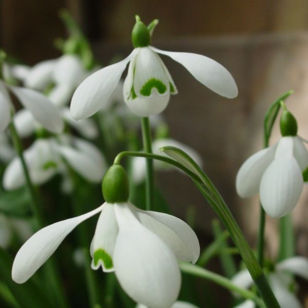 Galanthus 'S. Arnott' (Imperial Group)