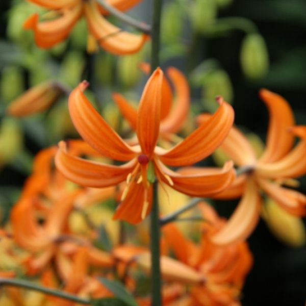 Lilium 'Orange Marmelade'