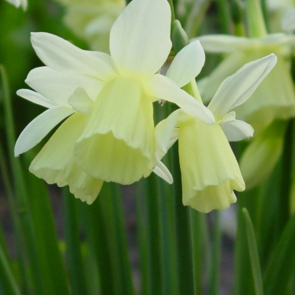 Narcissus 'Dutch Lemon Drops'