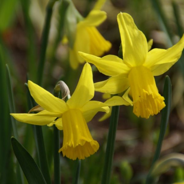 Narcissus 'February Gold'