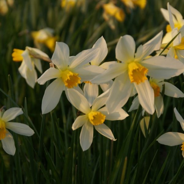 Narcissus 'Lucifer'