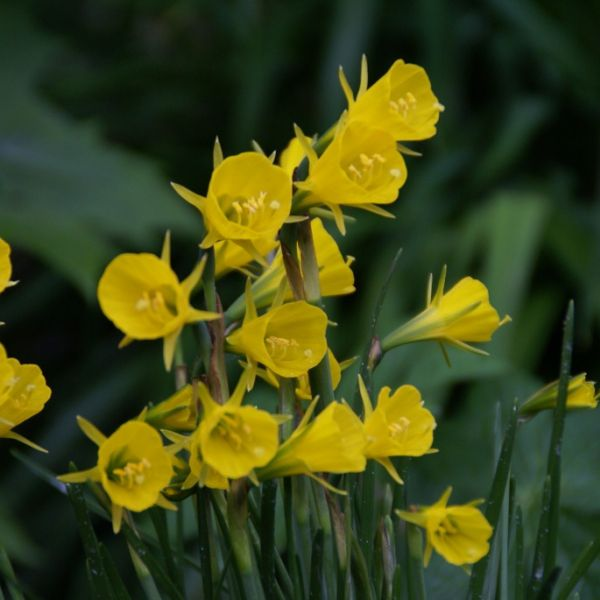 Narcissus bulbocodium subsp. bulbocodium 'Apollo Gold'