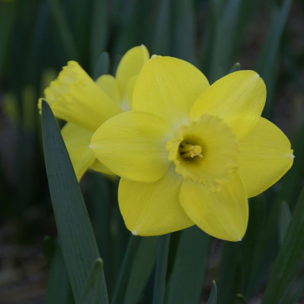 Narcissus 'Pay Day'
