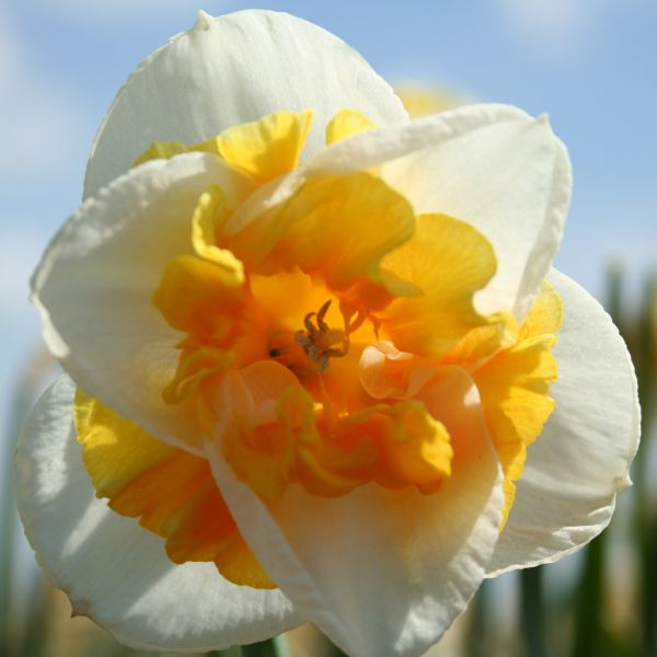 Narcissus 'Love Call'
