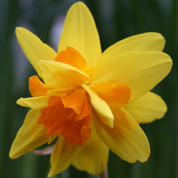 Narcissus 'Double Itzim'