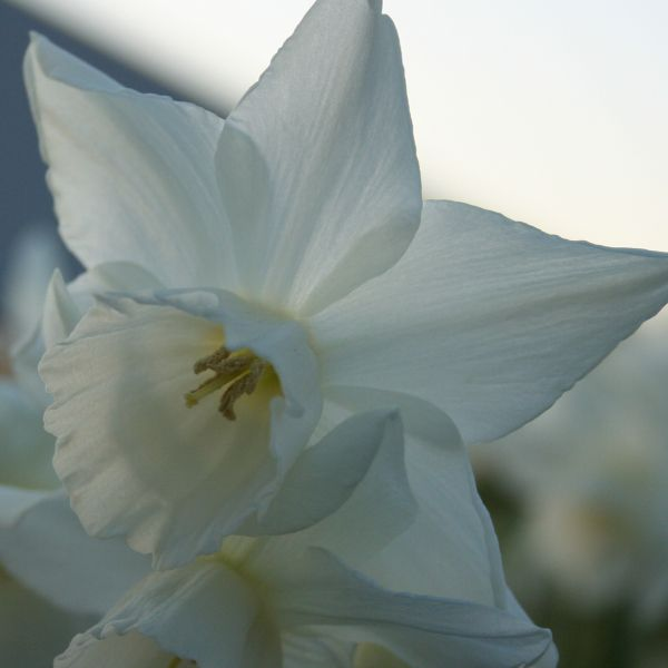 Narcissus 'Arish Mell'
