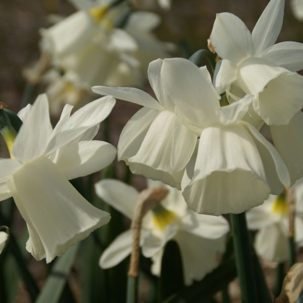 Narcissus 'Horn of Plenty'