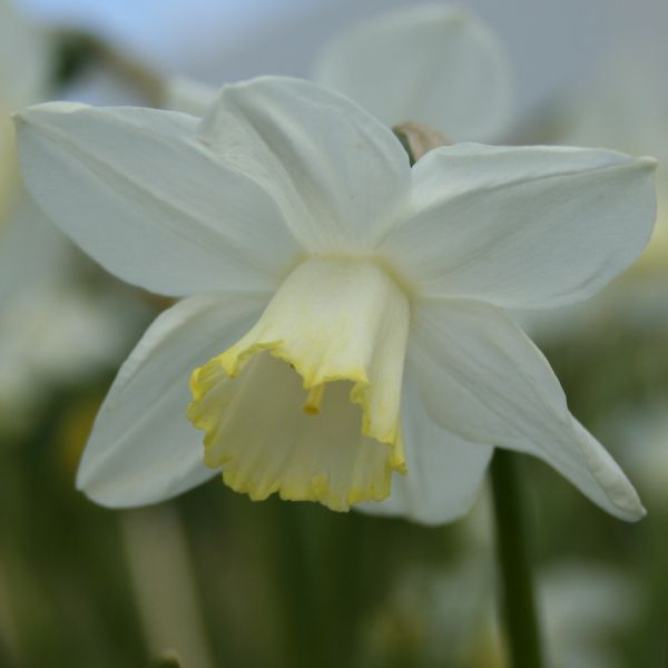 Narcissus 'Greenlet'
