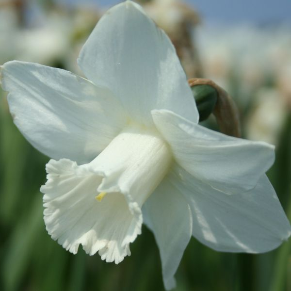 Narcissus 'Delta Flight'