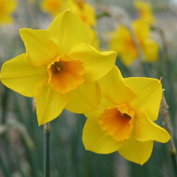 Narcissus 'Wheal Coates'