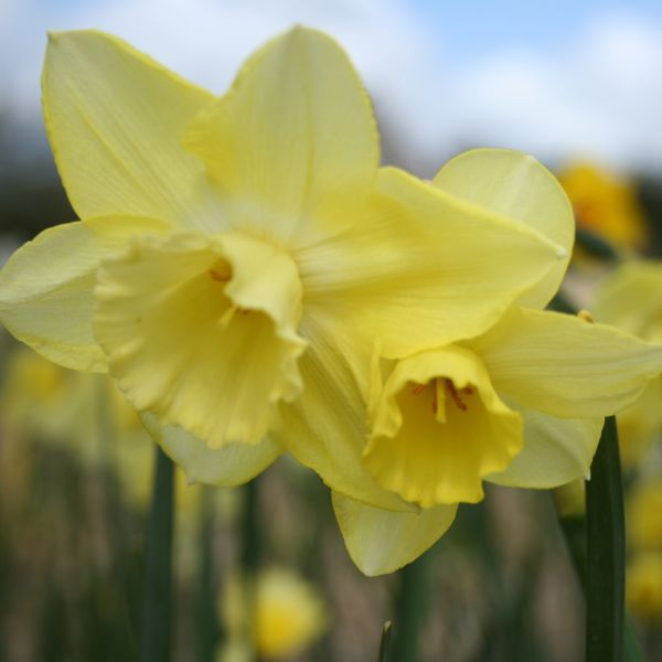 Narcissus 'Chat'