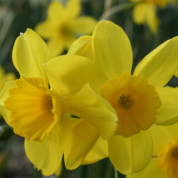 Narcissus 'Pipers Barn'