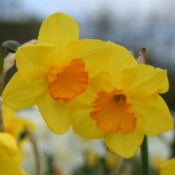 Narcissus 'Whipcord'