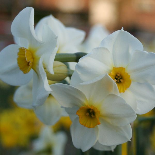 Narcissus 'Elvira'