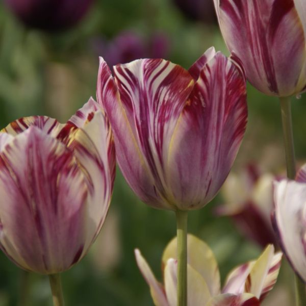 Tulipa 'Beauty of Bath'