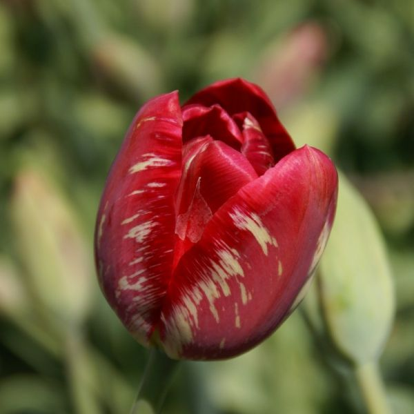 Tulipa 'Mabel virus'