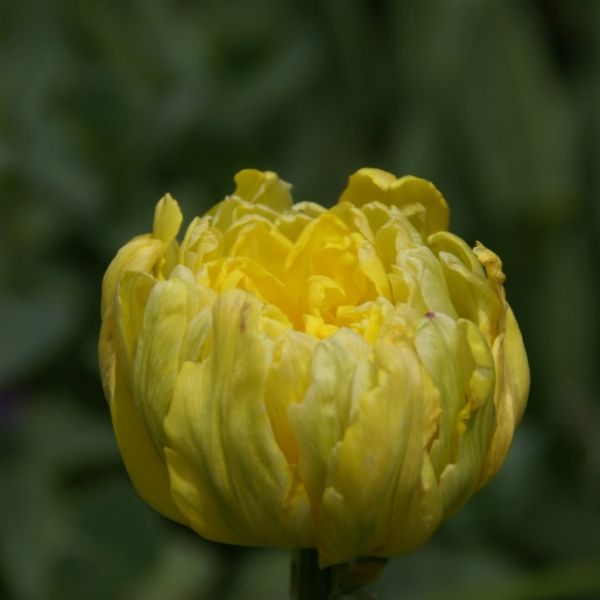 Tulipa 'Yellow Rose'