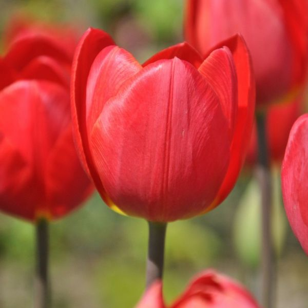 Tulipa 'Gold Tears'