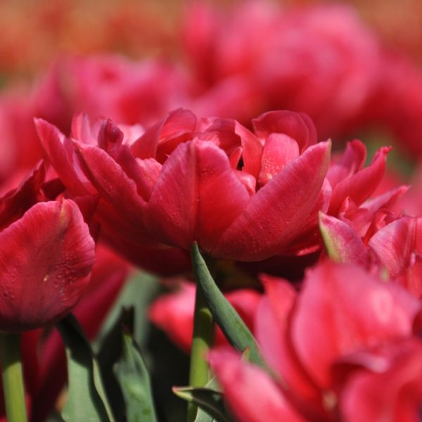 Tulipa 'Distinction'