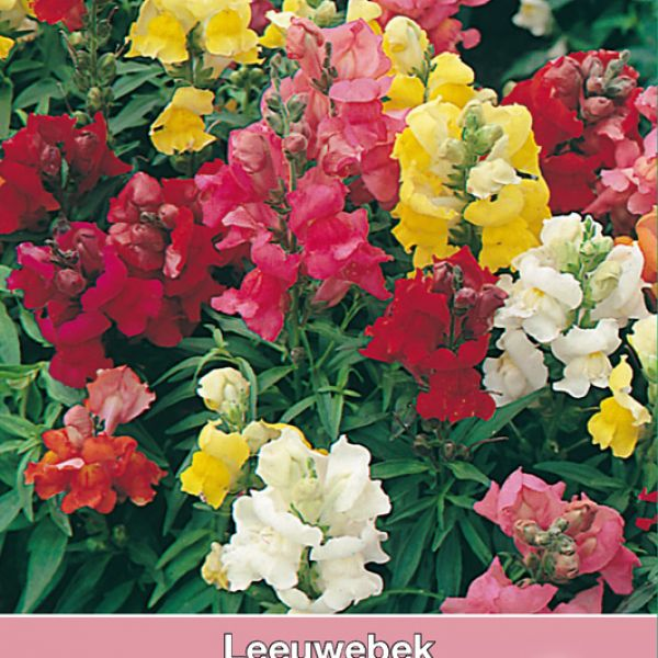 Antirrhinum majus 'Rainbow Mix'