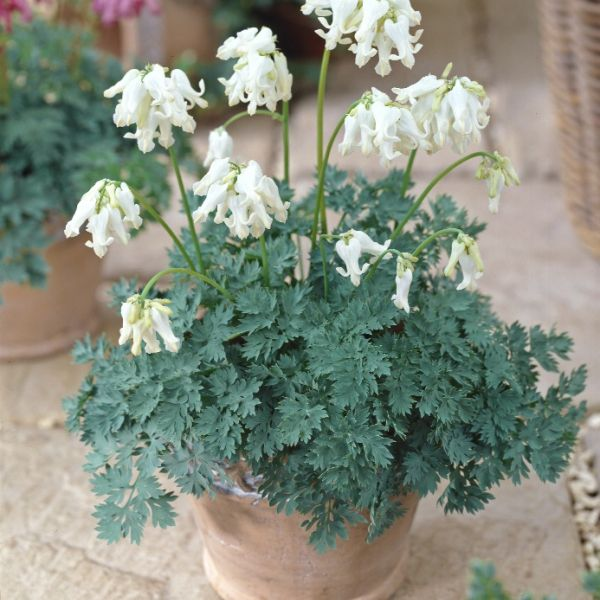 Dicentra 'Ivory Hearts'