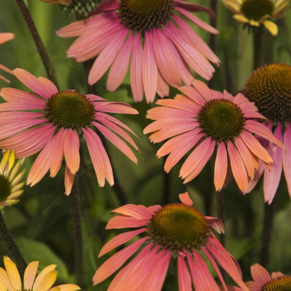 Echinacea 'Summer Coctail'