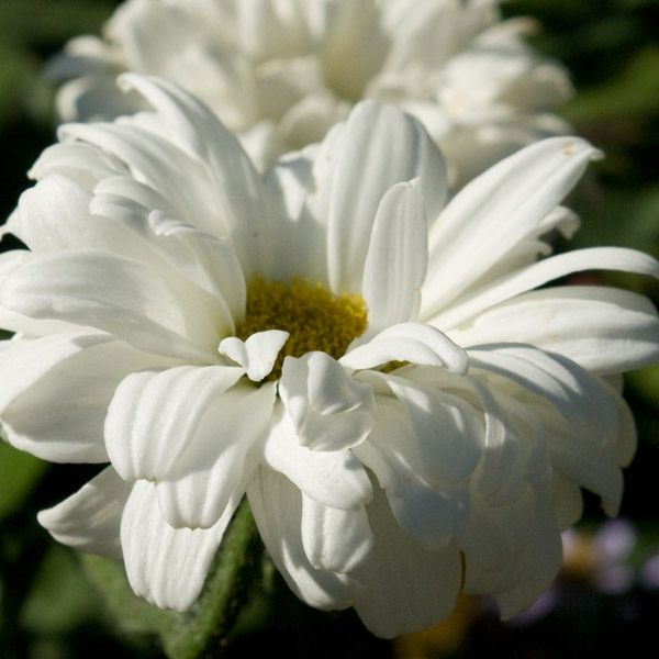 Leucanthemum ´Victoiran Secret´