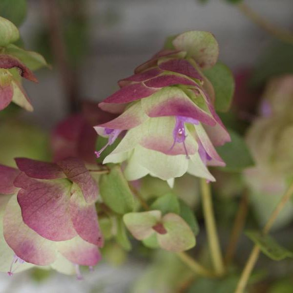 Origanum rotundifolium ´Kent Beauty´