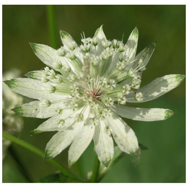 Astrantia 'White Giant'