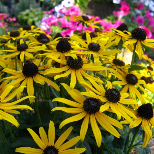 Rudbeckia 'Littte Gold Star'