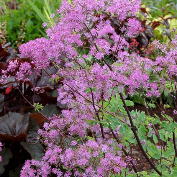 Thalictrum 'Black Stokkings'