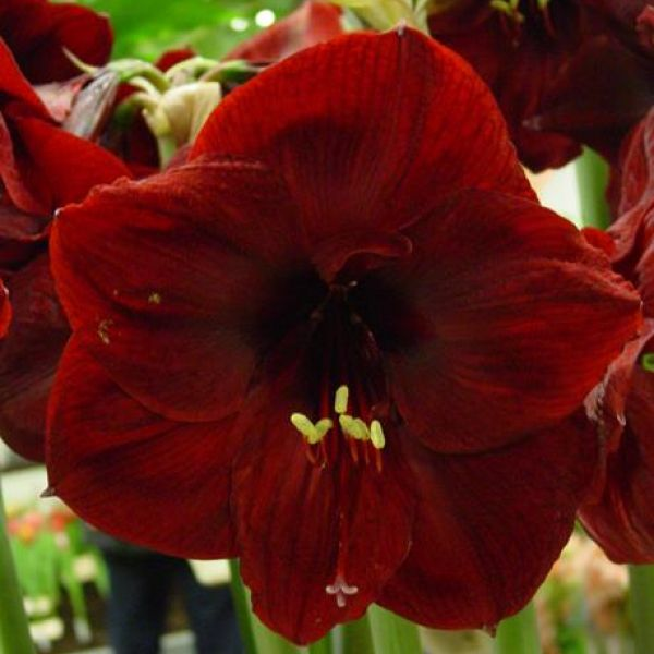 Hippeastrum 'Red Pearl'