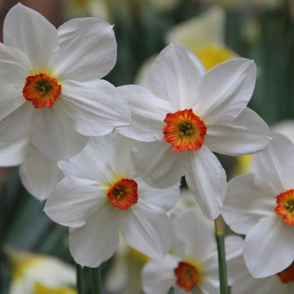 Narcissus 'Fire Tail'