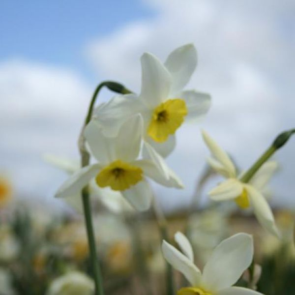 Narcissus 'Dawn'