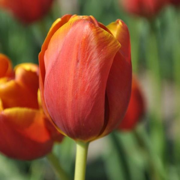 Tulipa 'Maryland'